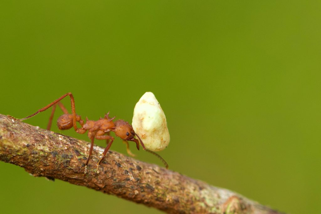 Ant carrying huge object on its head - sometimes we carry too much emotional baggage and need to put some down - Sarah Tuckett Psychotherapy and Counselling North Brisbane